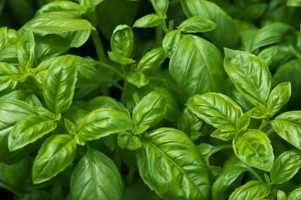 Fresh growing organic basil