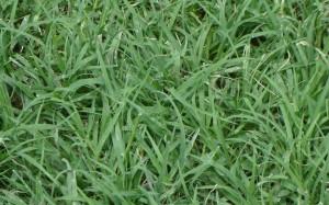 Agriada-agropyron